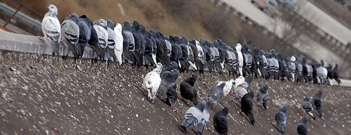 golubovi-zgrada